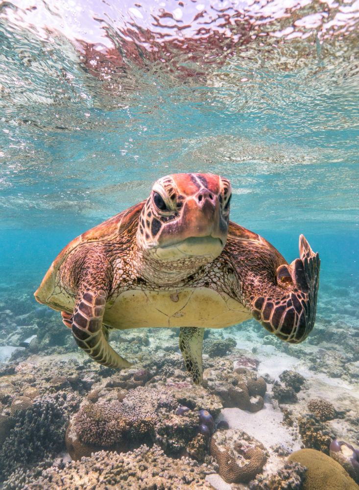 Снимок Terry the Turtle flipping the bird фотографа Mark Fitzpatrick, ставший финалистом конкурса 2020 The Comedy Wildlife Photography Awards