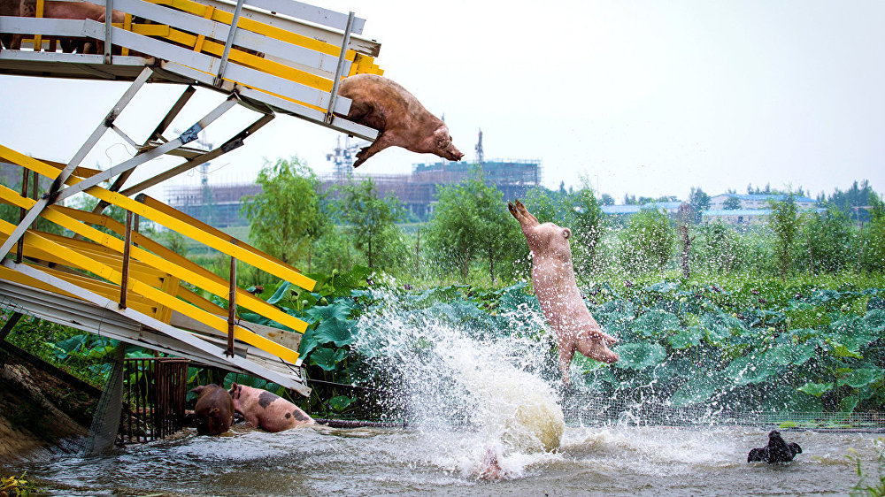 Pigs are herded off a platform into water by breeders during a daily exercise at a pig farm in Shenyang