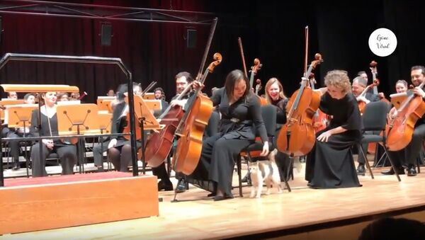 Naughty cat disrupts live orchestra concert and steals the show - Sputnik Узбекистан